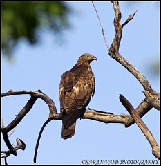 Oriental Honey Buzzard (Pernis ptilorhynchus) spotted in Tadoba-Andhari Tiger Reserve, India (Saran Vaid) Tags: park wild bird nature beautiful beauty birds fauna born scary dangerous eyes glare jeep wildlife tiger birding beak feathers free reserve evil aves crest safari honey raptor maharashtra prey elegant buzzard oriental habitat crested quill spotting birdofprey omen sighting jeepsafari accipitridae pernis tadoba orientalhoneybuzzard pernisptilorhynchus crestedhoneybuzzard andhari canonef300mmf4lisusm canoneos50d canonef14xiiextender ptilorhynchus canonef300mm tadobaandharitigerreserve