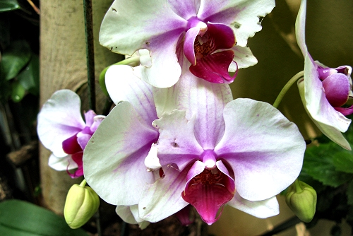 Phalaenopsis x hybridus (rq) - 01