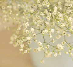 Baby's Breath (luvpublishing) Tags: flowers blue stilllife white home nature floral pot vase flowerpot tabletop babysbreath whiteflowers explored nikond90 softdreamyandethereal