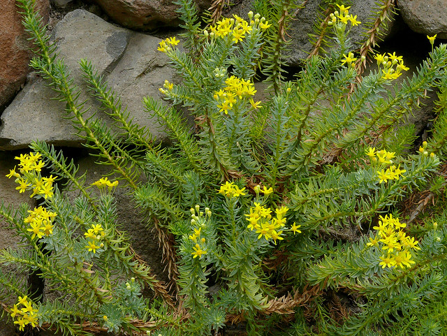 Euryops tysonii - view of stems