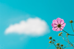 (rika...) Tags: pink blue sky flower clouds 2009 cosmos  k20d fbdg homersiliad auniverseofflowers awesomeblossoms pentaxart