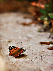 Ready For Take-off.. (SonOfJordan) Tags: flowers colour rock stone closeup canon butterfly eos amman jordan colourful takeoff xsi 450d الاردن samawi sonofjordan canoneosxsi450dsamawisonofjordan shadisamawi المملكةالاردنيةالهاشمية wwwshadisamawicom