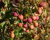 Cornuscopia? (howard.carshalton) Tags: autumn arboretum winkworth cornus