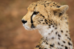 Cheetah Portrait - Jachtluipaard Portret (mikel.hendriks) Tags: portrait geotagged nationalpark kenya wildlife safari explore cheetah portret kenia breathtaking masaimara jachtluipaard nationalreserve canoneos50d specanimaliconoftheweek breathtakinggoldaward sigma120400mmf4556apodgoshsm breathtakinghalloffame