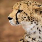 Cheetah Portrait - Jachtluipaard Portret