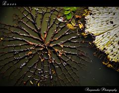 Loser (Dry Lotus Leaf) /  () (AmpamukA) Tags: plant leaves leaf pond natura