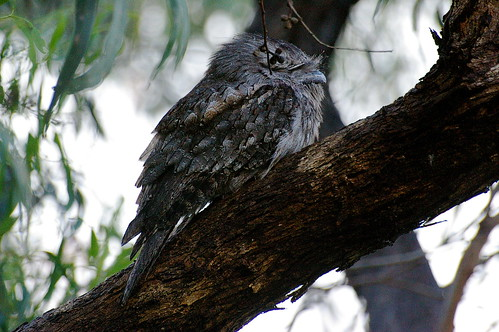 tawny frogmouth after the rain