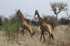 Wait for me... (BikBik) Tags: africa cool couple wait giraffe madikwegamereserve naturesfinest waitforme bibik specanimal anawesomeshot freenature wonderfulanimals