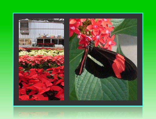 Poinsettia and Butterfly