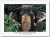 Elephant Conservation Park - Malaysia (CrazyNotion (wandering and wondering)) Tags: elephant malaysia pahang flickrsbest kualagandah bensharif