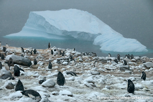 Penguin Rookery on Danko Island in Antarctica