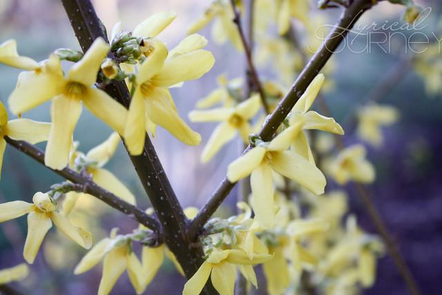 Yellow blossom 3