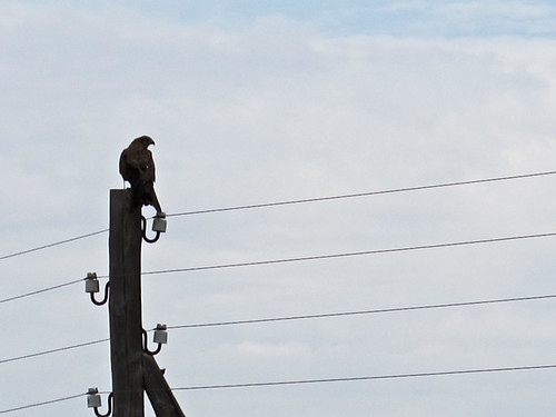 Bird of prey on a wire