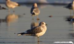 Mew Gull: Los Angeles County (gabrielgartner) Tags: bird birding california charadriiformes county gull losangeles mew pedro san usa