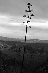 Century Plant Silhouette (jswensen2012) Tags: arizona desert peraltacanyon superstitionmountains centuryplant agave sonorandesert mountains tontonationalforest
