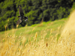 volo / flying swallow (ale_baco82) Tags: red italy black verde green bird nature yellow fly italia natura volo giallo swallow rosso birdwatching nero uccello rondine flyng