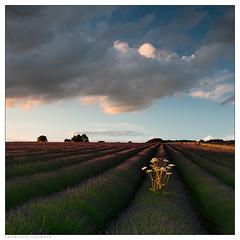 Snowshill Lavender II (rgarrigus) Tags: sunset england landscape europe unitedkingdom lavender cotswolds gloucestershire snowshill