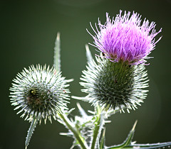 thistle (Phlipp D) Tags: beautiful breathtaking thegalaxy superaplus aplusphoto platinumheartaward natureoutpost flickrestrellas thebestshot quarzoespecial breathtakinggoldaward awesomeblossoms vanagram grouptripod goldendiamondblog platinumpeaceaward thebestofcengizsqueezeme2groups