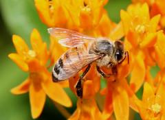 HONEY BEE & BUTTERFLY WEED (susies.genii) Tags: macro insect bee honeybee butterflyweed
