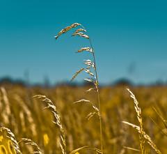 ~ Summer ~ (Komatoes) Tags: uk blue summer sky sun field grass 50mm gold golden nikon warm bokeh explore devon nikkor 61 d40
