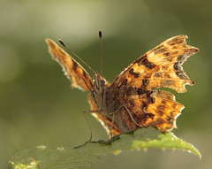 "Backlit Comma Butterfly ""Nymphalis c-album"" (Clive_Bushnell) Tags: uk summer nature butterfly wildlife butterflies insects clive comma bushnell nymphalidae nymphaliscalbum ef14x eos40d ef300mmf4is clivebushnell"