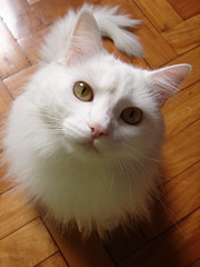 Yojiro (Andrey Leonardo) Tags: whitecat yoji jinho gatobranco bestofcats jorgin