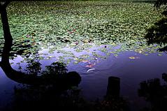 Water Lily and Carp[pentax k-7] (h orihashi) Tags: japan pond searchthebest pentax hiroshima 日本 carp breathtaking nationalgeographic aclass 広島 peopleschoice k7 blueribbonwinner flickrstars flickrsmileys mywinners abigfave royalgroup diamondheart colorphotoaward flickrhearts ultimateshot flickraward diamondclassphotographer flickrdiamond heartawards diamondstars flickrsheaven justpentax theperfectphotographer flickrestrellas cherryontopphotography peaceawards highqualityimages hatsukaichishi rubyphotographer photographersgonewild colorphotoawardpremier platinumpeaceaward pentaxk7