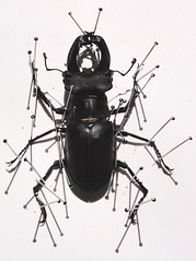 pinned2 (blamski) Tags: insect stag beetle pins entomology pinned