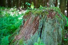 DSC_6821-090713 (DanRode) Tags: pennsylvania stump mossy cooksforest