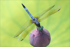 Close up of a dragonfly on a Lotus Flower Bud ...