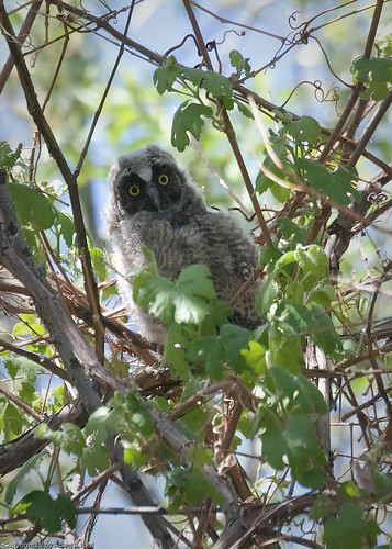 Long-eared Owlet by you.