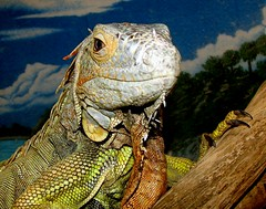 Fifteen years of friendship... (EcoSnake) Tags: rescue wildlife bert iguana lizards reptiles herps iguanaiguana greeniguana