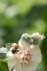 Parc Floral - Vincennes-41 (MissDogo) Tags: paris macro fleur closeup animaux parc abeilles insectes vincennes parcfloral bourdon proxyphoto hym hyménoptères hymnoptres