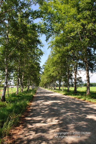 avenue of white birch