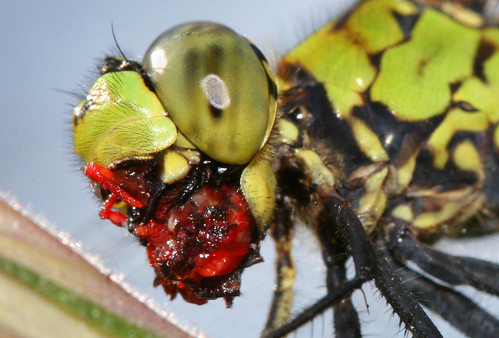 dragonfly munching