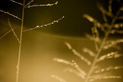 Vague de graminée (orang_asli) Tags: africa nature grass sunrise southafrica nationalpark champs fields herbe flore lieux leverdesoleil afrique période aficionados hluhluwe bushveld naturel afriquedusud savane parcnational géographie gographie priode monocotylédone monocotyldone