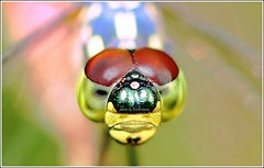 Always on my mind (Ericbronson's Photography) Tags: macro nature up close dragonfly aplusphoto ericbronson