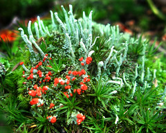 Cladoniaceae : Cladonia cristatella -  British soldiers lichen (Red-tipped lichen) on soil (William_Tanneberger) Tags: lichen cladonia cladoniacristatella cladoniaceae terricolous britishsoldierslichen familycladoniaceae redtippedlichen