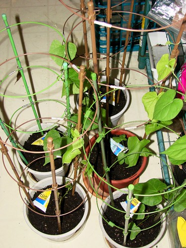 Indoor asagao garden 2