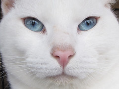 Blue Eyes (BlueRidgeKitties) Tags: blue pet white cat blueeyes northcarolina animalrescue petfair wataugacounty ccbyncsa cc2000 canonpowershotsx10is highcountryfriendsforlife hcfriendsforlife