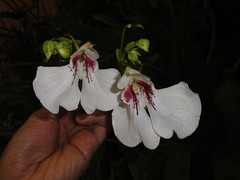 Impatiens tinctoria pair flash