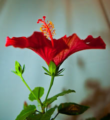 hibiscus-4 (Thomas Tolkien) Tags: school red copyright flower art sports yellow tom digital photography photo education nikon thomas yorkshire d70s teacher indoors hibiscus website stamen creativecommons bloom teaching tolkien jrr tuition potplant twitter robertbringhurst bringhurst thomastolkien tomtolkien httpwwwtomtolkiencom httpthomastolkienwordpresscom tolkienart notrelatedtojrrtolkien tolkienteacher tolkienteaching