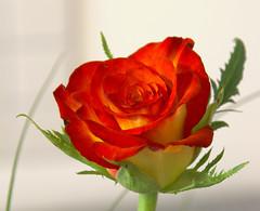 Rose (MR-Fotografie) Tags: red flower macro rot rose yellow nikon gelb makro d90 flickrflorescloseupmacros