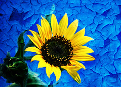 Sunflower Blues.- (ancama_99(toni)) Tags: pictures old flowers blue plants naturaleza plant abstract flores flower color colour art texture textura nature floral fleur colors beautiful beauty azul gardens fleurs photoshop vintage garden petals flora paint artistic antique decay flor picture natura petal bleu textures sunflower layer layers blau fiori fiore 2009 texturas textured cyanotype 1000views texturized 10favs 10faves 25favs 25faves cianotipo p1f1 texturesforlayers ancama99 cianotipe