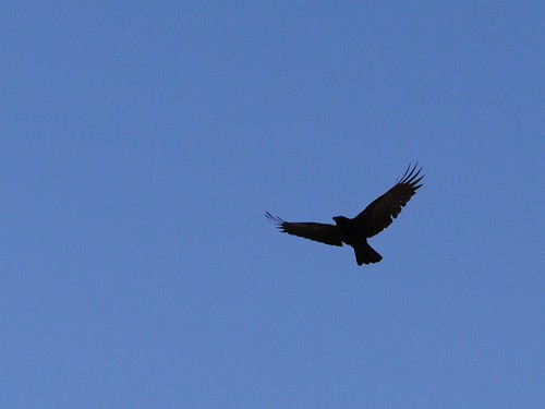 """crow is flying • <a style=""""font-size:0.8em;"""" href=""""http://www.flickr.com/photos/10528393@N00/4122464197/"""" target=""""_blank"""">View on Flickr</a>"""