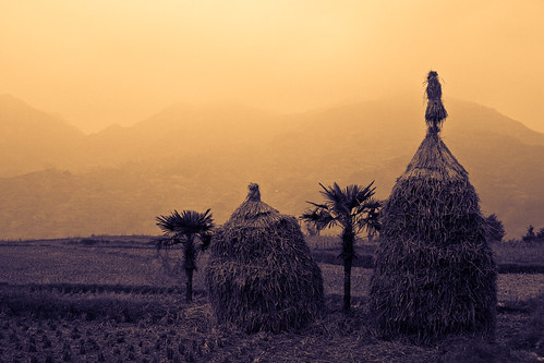 Rice straw (by niklausberger)