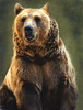 Niedźwiadek / Bear (raphic :)) Tags: bear las wild portrait mountains texture forest zoo góry bieszczady przyroda dziki niedźwiedź raphic subcarpathia updatecollection mygearandmepremium mygearandmegold