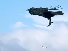 Super Bird (Ingrid Taylar) Tags: ocean sanfrancisco sky black bird clouds flying inflight pacific oceanbeach strong crow raven winds headwind