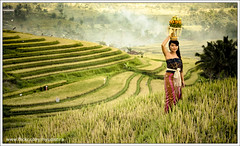 The Beauty of Bali (myudistira) Tags: bali girl work dance photographer action culture dancer 2009 freelance adat budaya balinese fotografer unik yudis baliview baliphotographer myudistira madeyudistira yudist