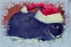 Santa Max says Hoppy Christmas (sensitivebunnyguy) Tags: bunny bunnies netherlanddwarfrabbit cutebunnies santamax cuterabbits cuterabbitphotos cutebunnyphotos nikond5000 lopearrabbits santabunnies santasundae
